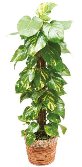 plante verte d 39 int rieur pothos livraison domicile sous 4h l 39 agitateur floral. Black Bedroom Furniture Sets. Home Design Ideas