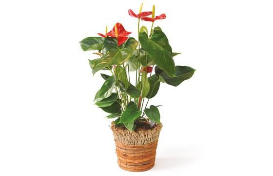 image de la plante dépolluante, un anthurium