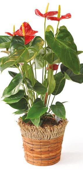 anthurium rouge arthur livraison plante verte d polluante l 39 agitateur floral. Black Bedroom Furniture Sets. Home Design Ideas