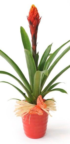 Plante Exotique Akira Le Billbergia Livraison A Domicile 7 7 En 4h