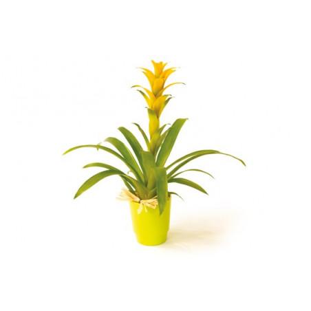 image de la plante verte et fleurie Nana le guzmania