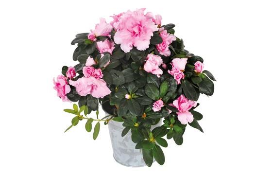 Azalée rose Zoé |livraison de plantes vertes et fleuries de saison