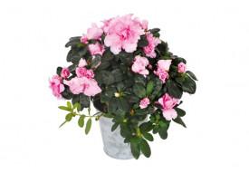 Plante Zoé lAzalée rose