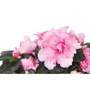 L'Agitateur Floral | zoom sur les fleurs roses de l'azalée