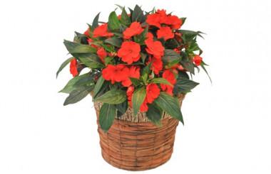 image de la plante verte et fleurie Impatience rouge