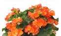 L'Agitateur Floral | zoom sur les fleurs orange du bégonia