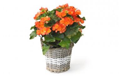 image d'un bégonia orange - livraison fleurs saison
