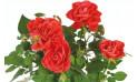 zoom sur les roses rouges du rosier