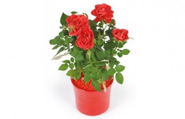 image d'un rosier rouge - livraison plante saison