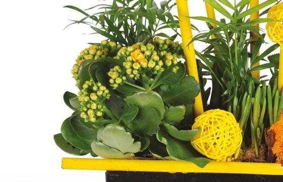 image d'un kalanchoé jaune de la coupe de plantes