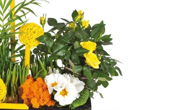 vue sur le rosier jaune de la coupe de plantes