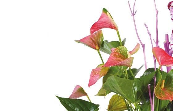 image des minis anthuriums rose vert