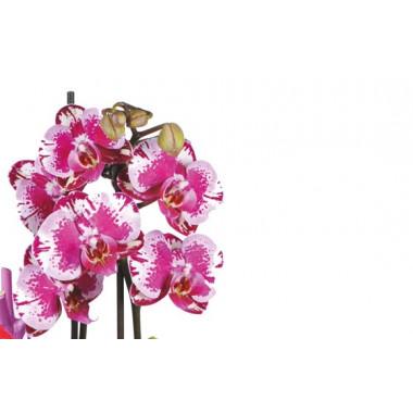 image des minis orchidées