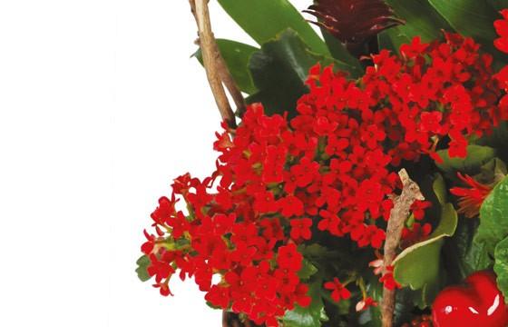 vue sur les nertera du Panier de plantes Antho le Jardinier