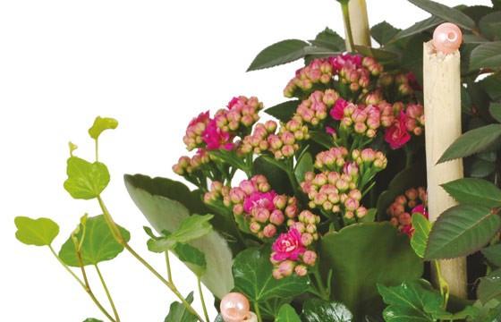 Coupe de plantes rosier kalancho c losie livraison 7j 7 en 4h l 39 agitateur floral - Le jardin d italie chateauroux ...