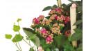 zoom sur un kalanchoé de la coupe de plante