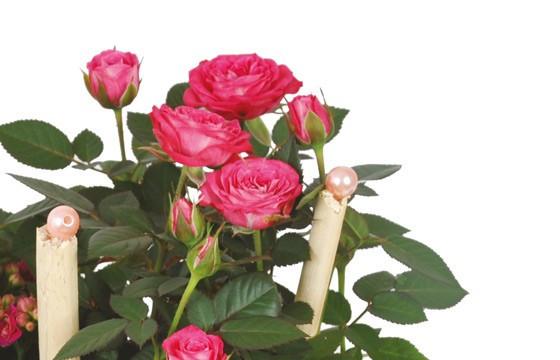 zoom sur le rosier de la coupe de plante le jardin d'italie