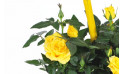 vue sur un rosier de couleur jaune