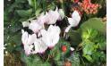 zoom sur un cyclamen de la coupe de plantes vertes et fleuries