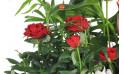 zoom sur un rosier rouge de la coupe de plantes vertes & fleuries
