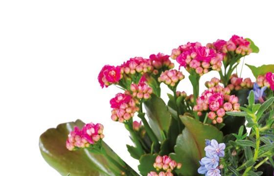 zoom sur un kalanchoé rouge/rose de l'assemblage de plantes