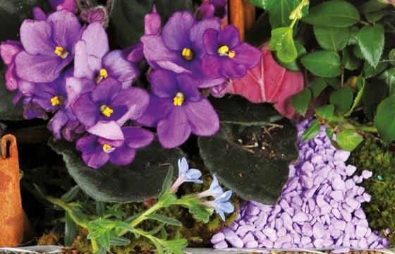 vue sur des pervenche bleu de l'assemblage de plantes le jardin enchanté