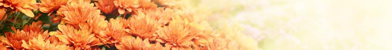 Livraison de Chrysanthème pour la Toussain par un artisan fleuriste