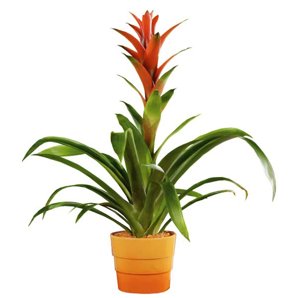Plante guzmania