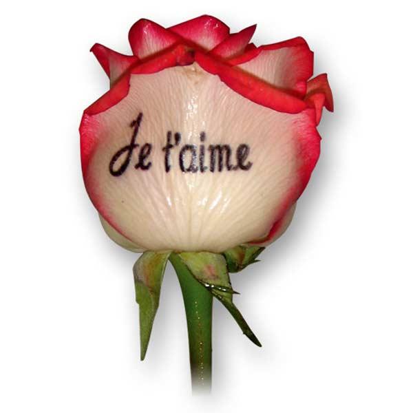 Rose imprimée bicolore