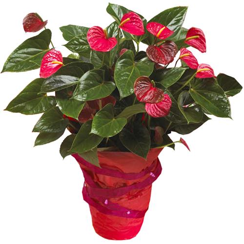 Livraison plante anthurium rouge for Livraison fleurs paypal