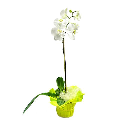 orchidee blanche prix. Black Bedroom Furniture Sets. Home Design Ideas