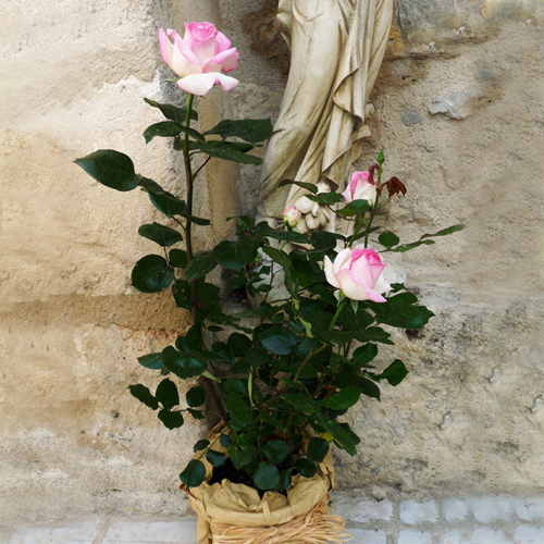 Rosier bicolore blanc et rose