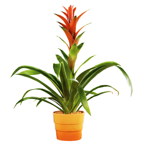 Livraison guzmania rouge orange for Plantes a commander