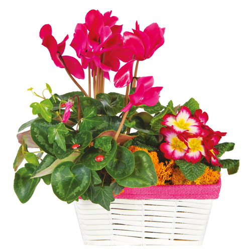 Composition de plantes deuil cyclamen rose fuchsia for Commander des plantes