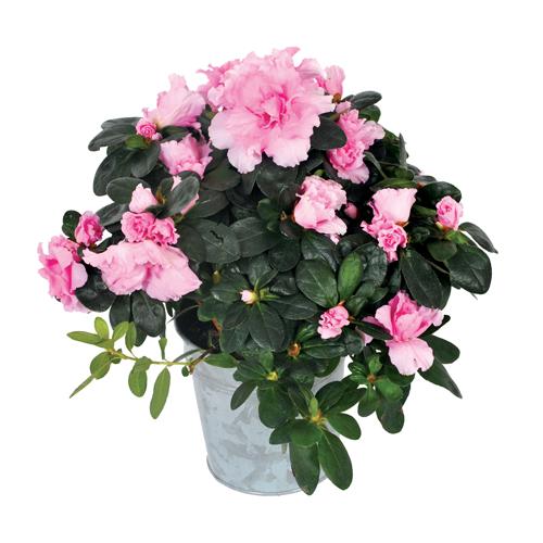 Livraison plante deuil azal e rose agitateur for Livraison fleurs paypal