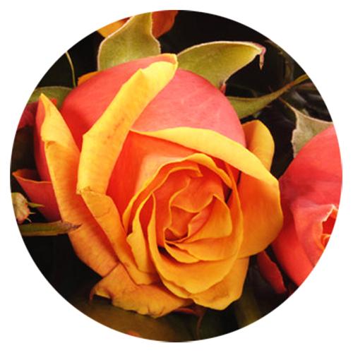 Livraison roses oranges moyennes tiges livraison de fleurs for Livraison fleurs paypal