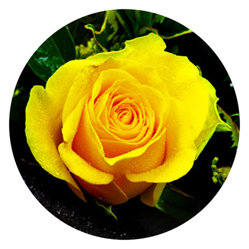 livraison de fleurs et de roses jaunes longues tiges. Black Bedroom Furniture Sets. Home Design Ideas