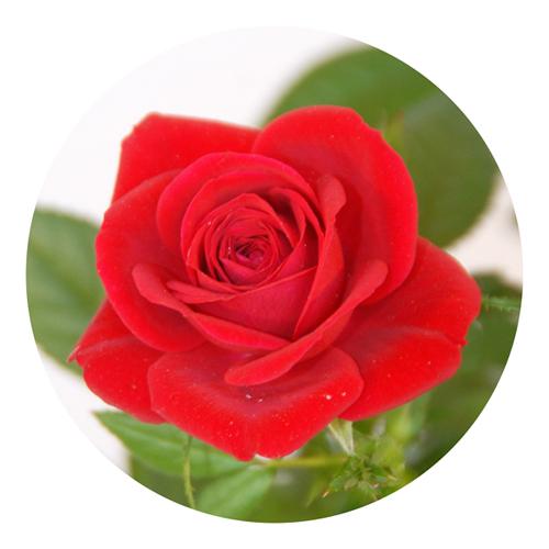 commande roses rouges moyennes tiges livraison de fleurs rose