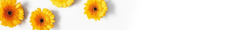 langage des fleurs, le gerbera
