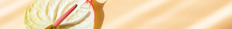 image de présentation de la température d'entretien d'un anthurium en pot