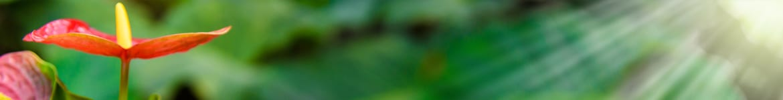 image de présentation de l'exposition d'un anthurium
