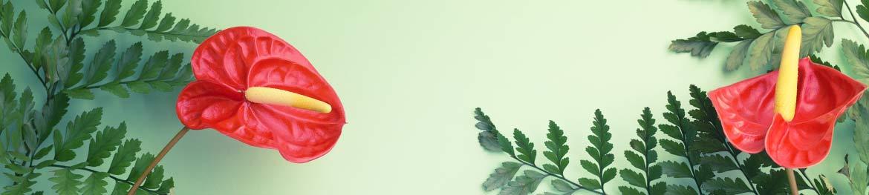 quelles fleurs offrir en amour : anthurium