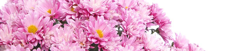 quelles fleurs offrir en amour : chrysanthèmes roses