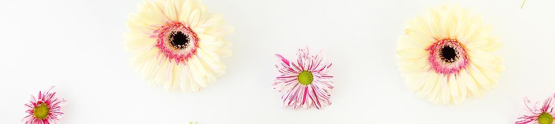 quelles fleurs offrir en amour : gerberas